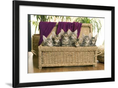 Maine Coon Group of Seven Kittens in Basket--Framed Art Print