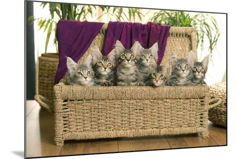 Maine Coon Group of Seven Kittens in Basket--Mounted Photographic Print