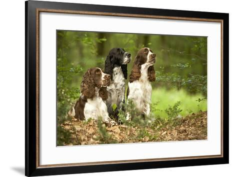 English Springer Spaniels in Woodland--Framed Art Print