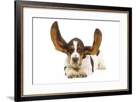 Basset Hound in Studio with Ears Up--Framed Art Print