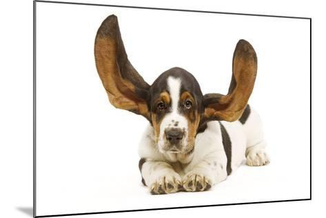 Basset Hound in Studio with Ears Up--Mounted Photographic Print