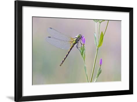 Common Darter Dragonfly Resting on Common Centaury--Framed Art Print