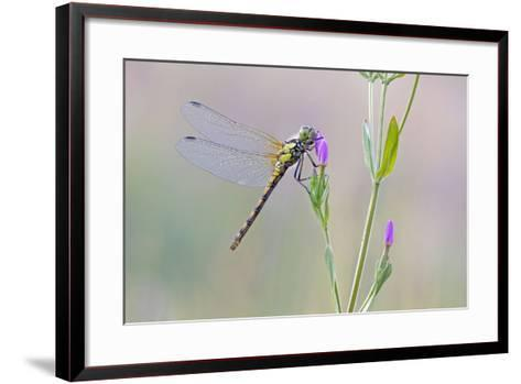 Common Darter Dragonfly Resting on Common Centaury--Framed Art Print