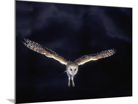 Barn Owl in Flight, at Night--Mounted Photographic Print