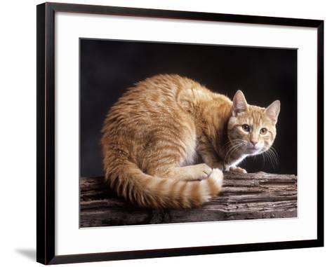 European Ginger Tabby Cat--Framed Art Print