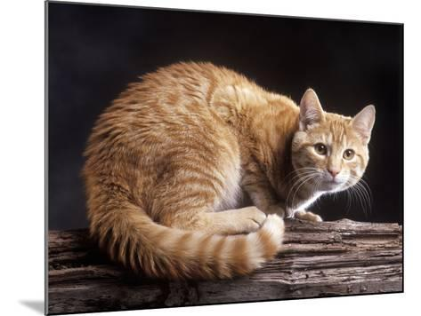European Ginger Tabby Cat--Mounted Photographic Print