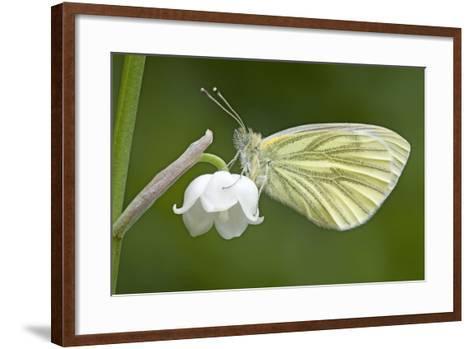 Green Veined White Butterfly--Framed Art Print