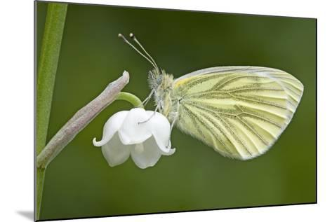Green Veined White Butterfly--Mounted Photographic Print