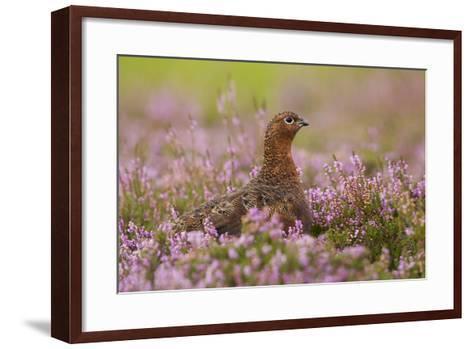 Red Grouse Amongst Heather--Framed Art Print