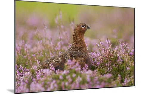Red Grouse Amongst Heather--Mounted Photographic Print
