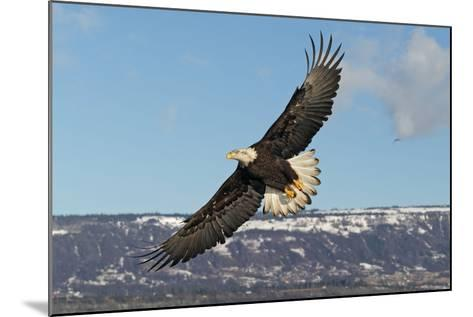 Adult Bald Eagle in Flight--Mounted Photographic Print