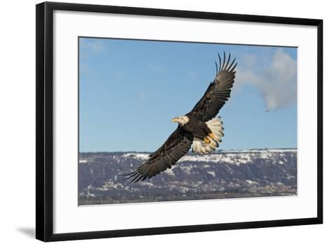 Adult Bald Eagle in Flight--Framed Art Print