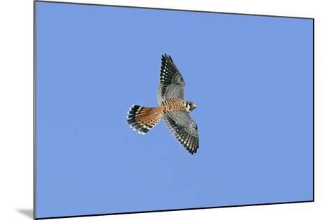 American Kestrel Male in Flight--Mounted Photographic Print