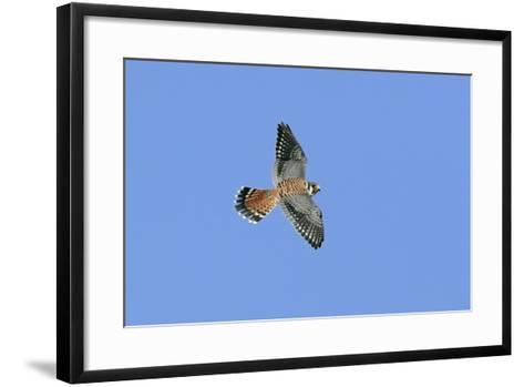 American Kestrel Male in Flight--Framed Art Print