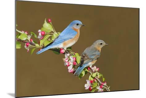 Eastern Bluebird Pair--Mounted Photographic Print