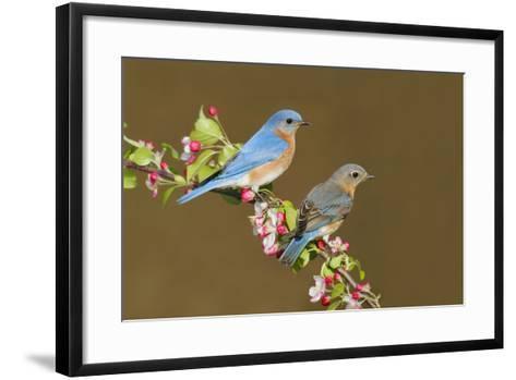 Eastern Bluebird Pair--Framed Art Print