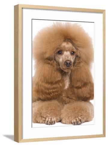 Poodle Miniature--Framed Art Print