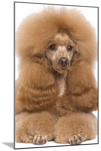 Poodle Miniature--Mounted Photographic Print