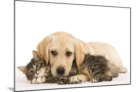 Cat and Dog Labrador Puppy and Norwegian Forest Cat Kitten--Mounted Photographic Print