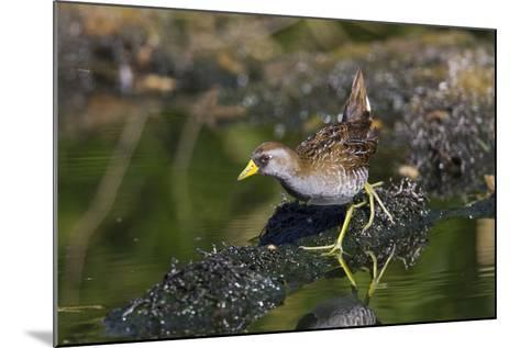 Sora March--Mounted Photographic Print