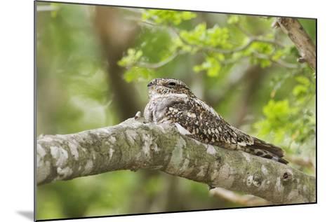 Common Nighthawk--Mounted Photographic Print