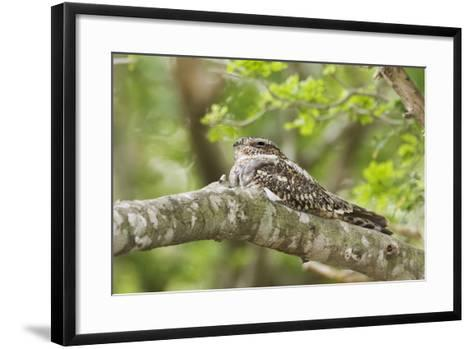 Common Nighthawk--Framed Art Print