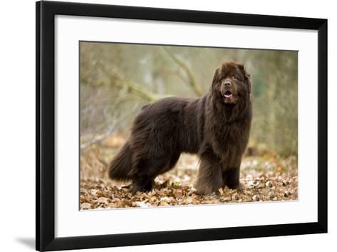 Newfoundland Dog--Framed Art Print