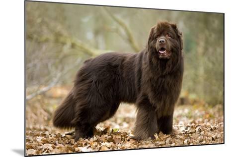 Newfoundland Dog--Mounted Photographic Print