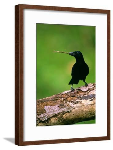 New Caledonian Crow Using Tool to Dislodge Worms--Framed Art Print