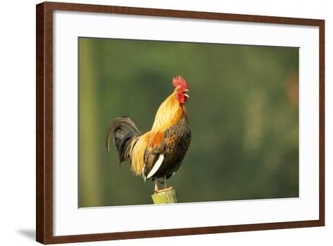 Chicken Cockerel Crowing--Framed Art Print