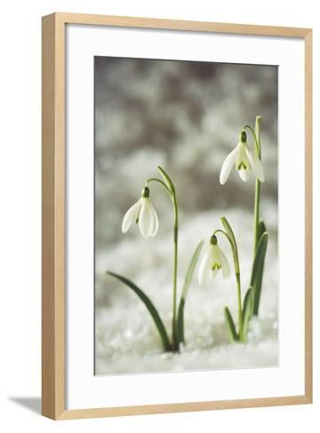 Snowdrop Three Flowers in Snow--Framed Art Print