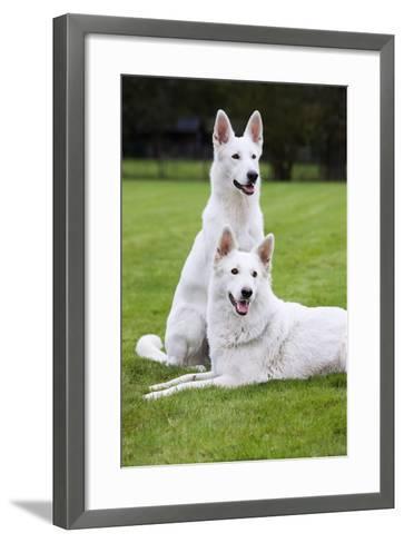 White Swiss Shepherd Dog Pair--Framed Art Print