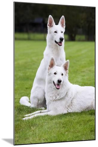 White Swiss Shepherd Dog Pair--Mounted Photographic Print