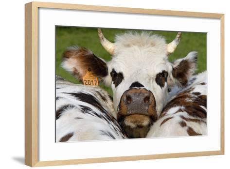 Normandy Cow Face--Framed Art Print