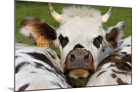 Normandy Cow Face--Mounted Photographic Print