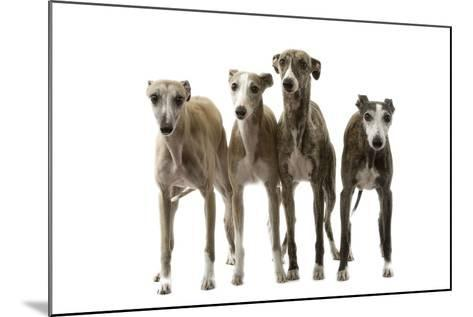 Whippets--Mounted Photographic Print