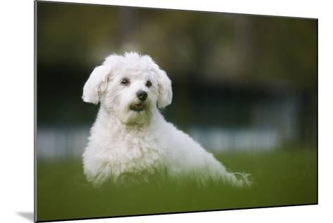 Maltese Dog in Garden--Mounted Photographic Print