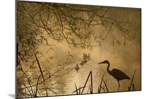 Heron Autumn Mist over Woodland Pond with Ducks--Mounted Photographic Print