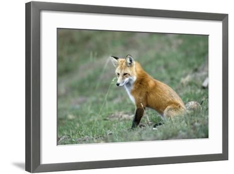 Red Fox Side View of Animal Sitting--Framed Art Print