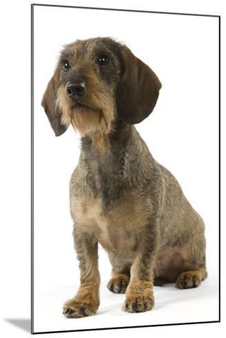 Wire-Haired Dachshund--Mounted Photographic Print