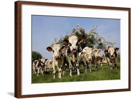 Cattle, Normande Breed Herd in Field Facing Camera--Framed Art Print