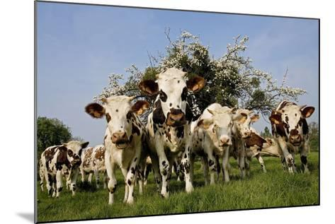 Cattle, Normande Breed Herd in Field Facing Camera--Mounted Photographic Print