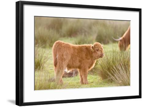 Highland Cattle Calf on Grazing Marsh--Framed Art Print