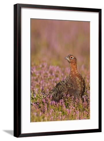Red Grouse Standing Amongst Heather in Early--Framed Art Print