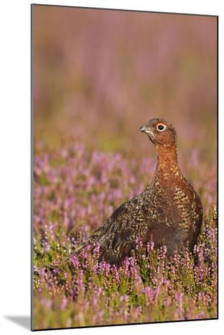 Red Grouse Standing Amongst Heather in Early--Mounted Photographic Print