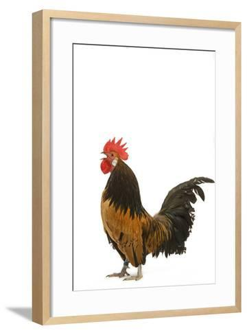 Cockerel Breed Bassette Liegeoise in Studio--Framed Art Print