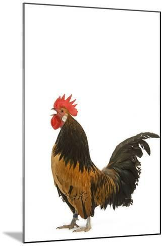 Cockerel Breed Bassette Liegeoise in Studio--Mounted Photographic Print