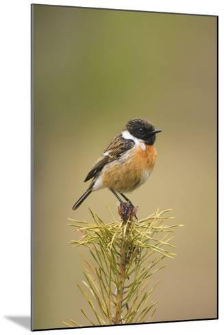 Stonchat Male Perched on Top of a Young Conifer Tree May--Mounted Photographic Print