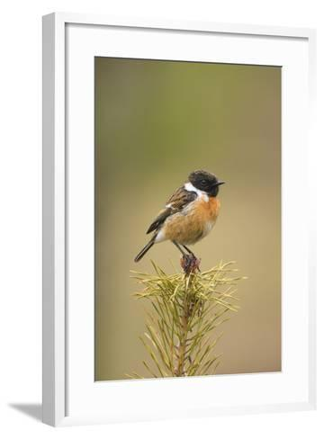 Stonchat Male Perched on Top of a Young Conifer Tree May--Framed Art Print
