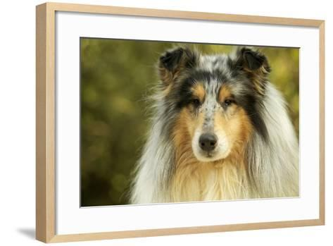 Rough Collie Dog--Framed Art Print